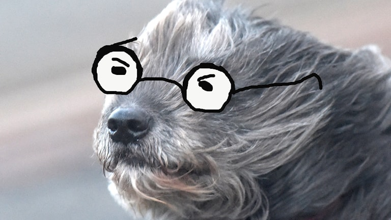 Hund med glasögon