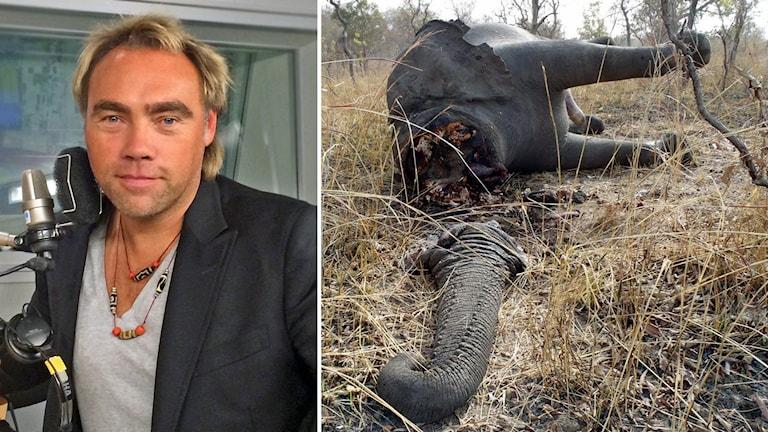 Johan Ernst Nilson äventyrare. Foto: Sveriges Radio. Tjuvskjuten elefant. Betarna har hackats bort och smugglats till Kina eller Thailand. Foto: AP Photo/ Boubandjida Safari Lodge/TT.