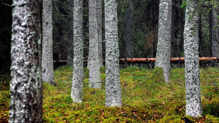 Skog av gran med grönmossa på marken. Foto. Hasse Holmberg /TT.