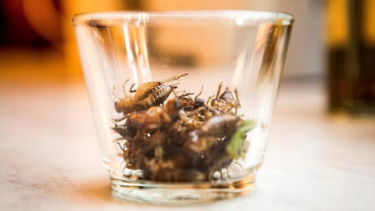 Stekta syrsor i ett glas.