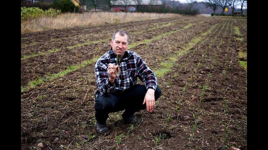 Odlaren Mikael Jidenholm med en nyplockad vitlök. Foto: Tomas Tengby/Sveriges Radio
