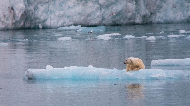 isbjörn på glaciäris