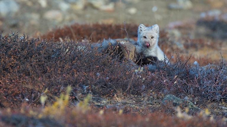 En polarräv kalasar på ett myskoxkadaver. Hornet syns bakom dvärgbjörkriset. Foto: Thomas Öberg.