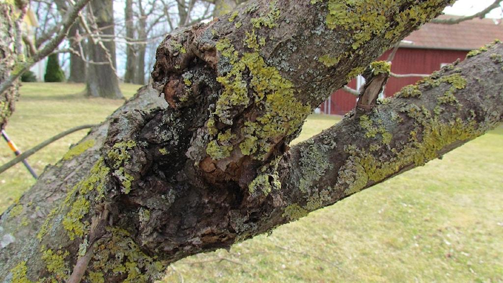 Trädsjukdomen fruktträdskräfta.
