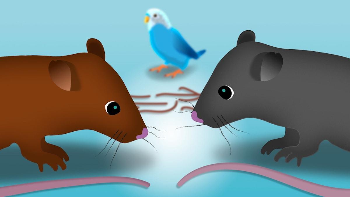 Nina och råttbebisarna. Illustration: Mattias Stridbeck/SR.