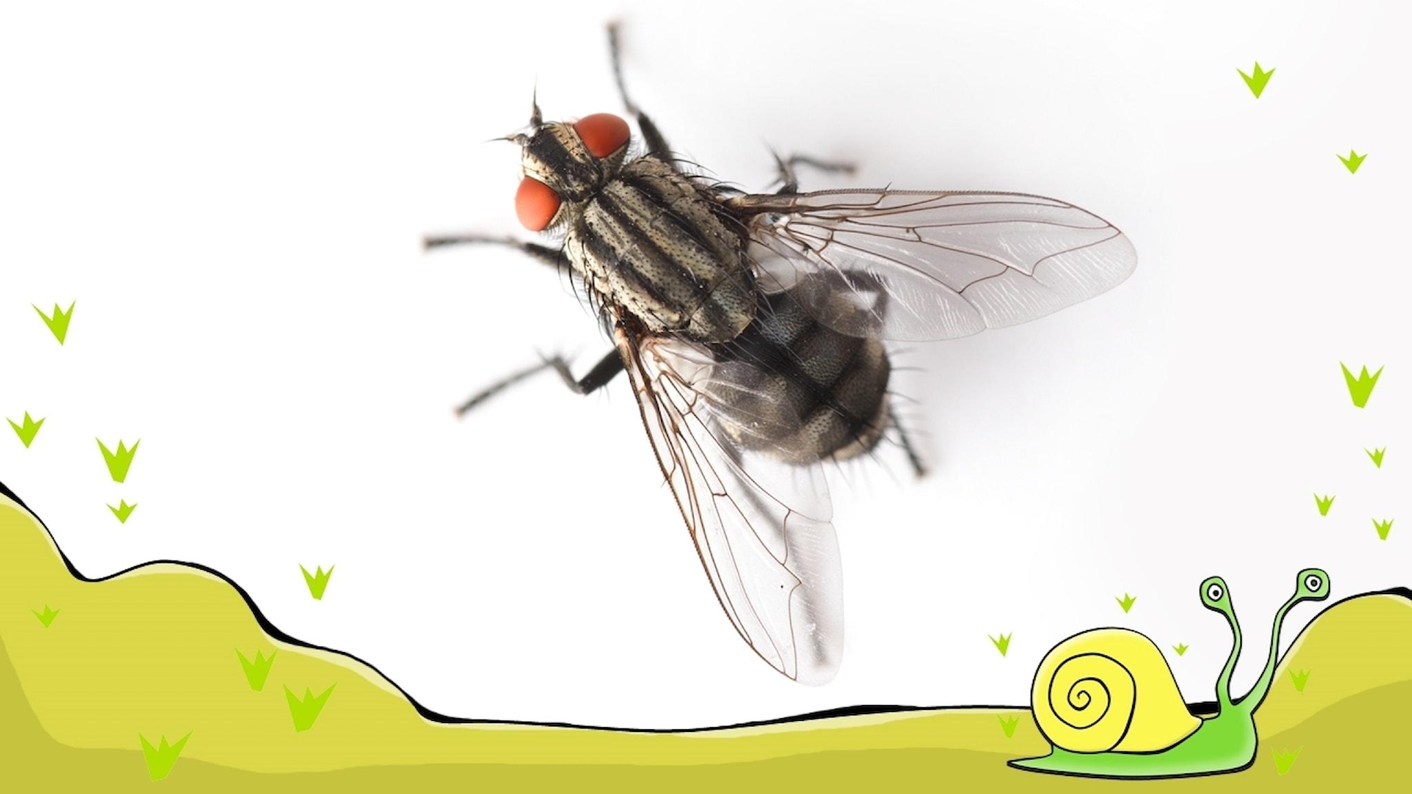 En flugas liv: Jag är en fluglarv  Del 1 av 5