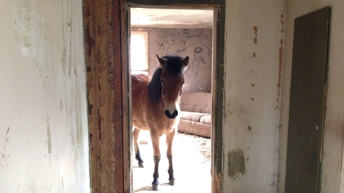 Cal lever med sina två hästar i sitt hus. Foto: Erika Norberg/Sveriges Radio