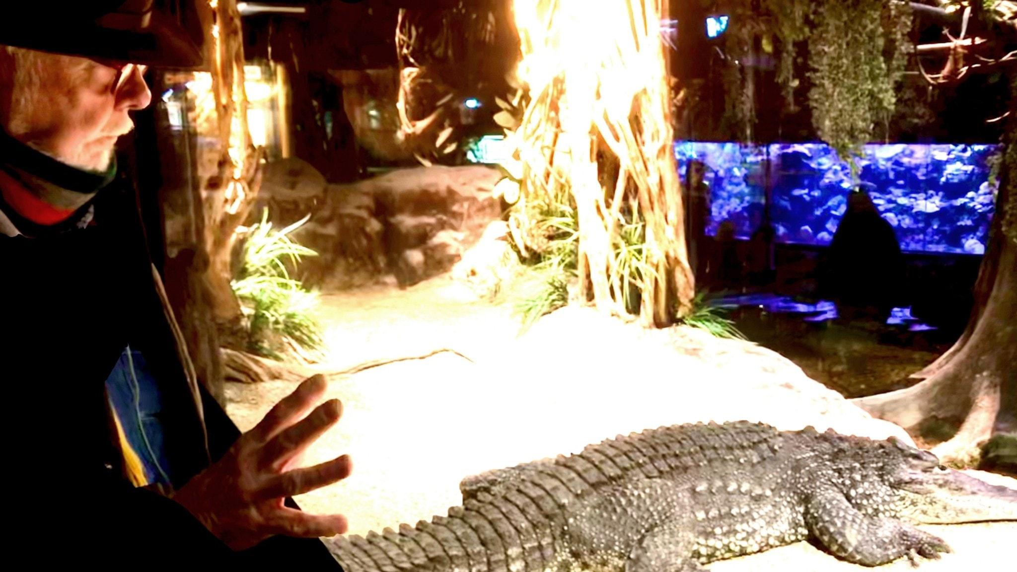 Lasse Liedegren ser på krokodilen som tog hans arm