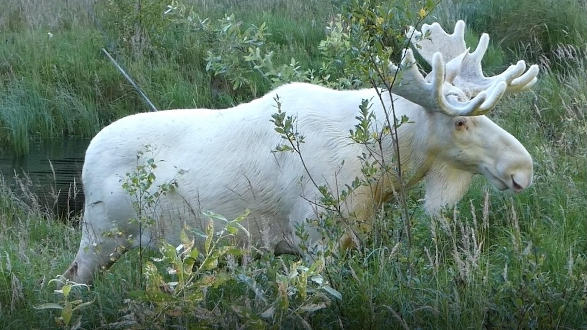 Den vita älgen som kallas Ferdinand.