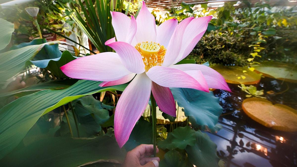 Lotusblomma på Botaniska trädgården i Oslo