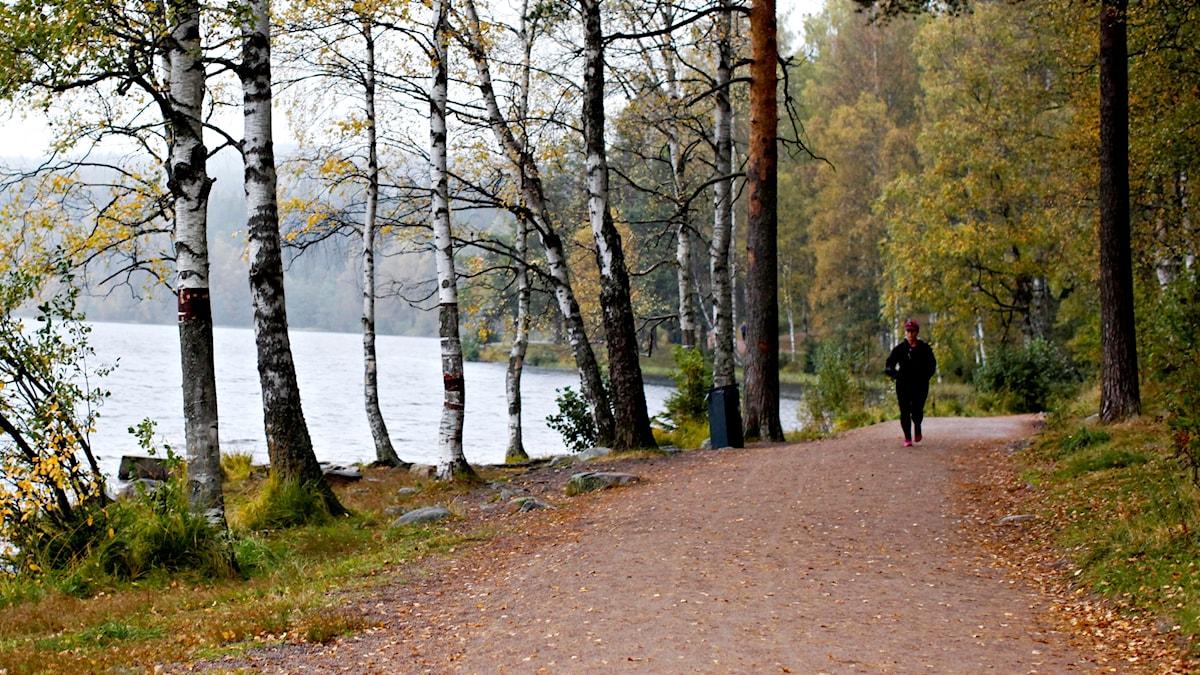 En kvinna joggar runt en sjö i en björkskog med gulnande höstlöv