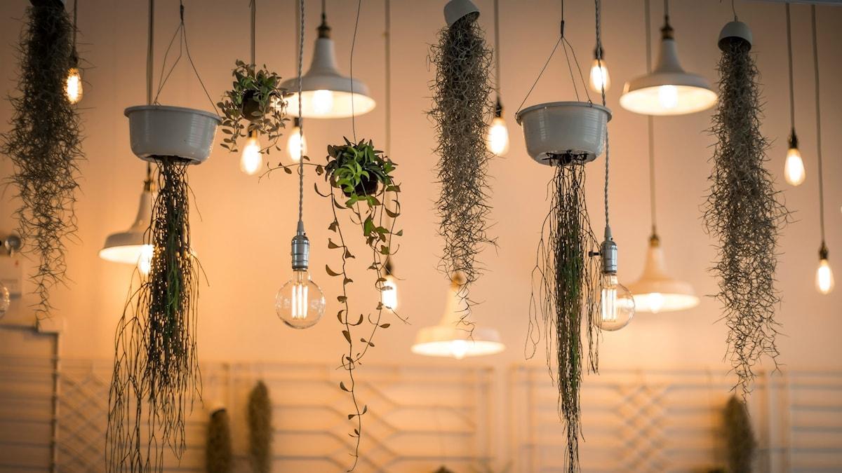 Taklampor med olika takväxter
