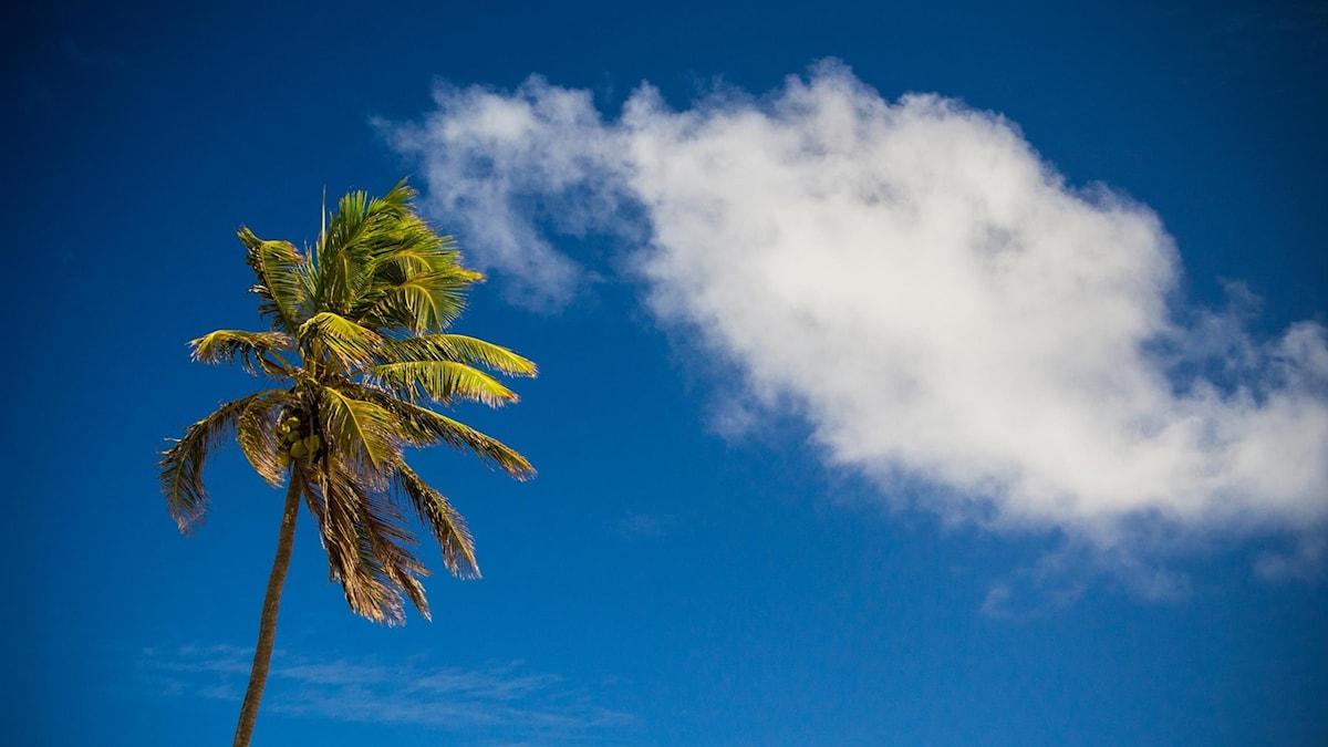 Palm, blå himmel, vita moln.