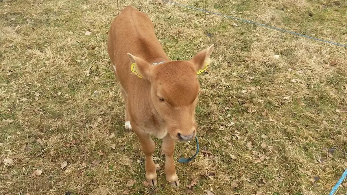 En brunfärgad kalv.