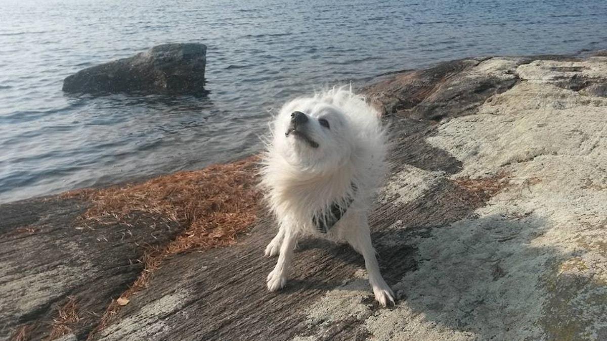 Hund som skakar av sig vatten på en klippa vid en sjö