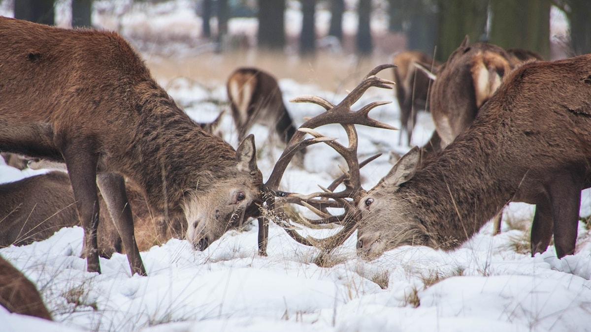 Två hjortar stångas i en snöig skog.