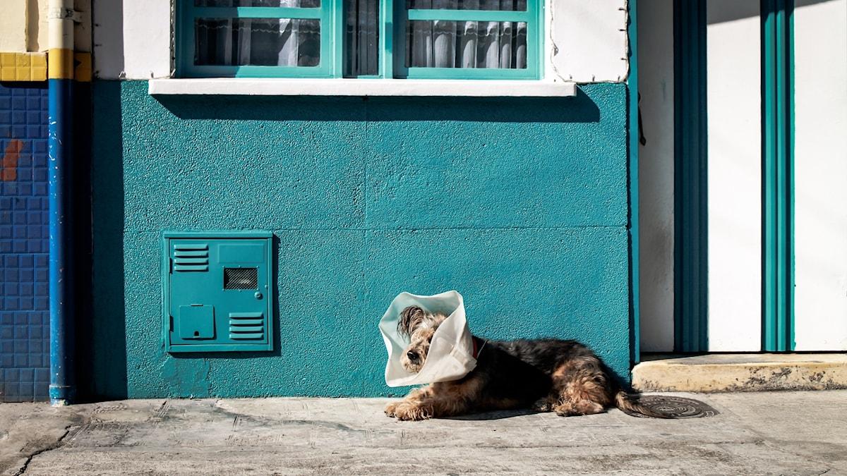 Hund med tratt ligger på en trottoar.