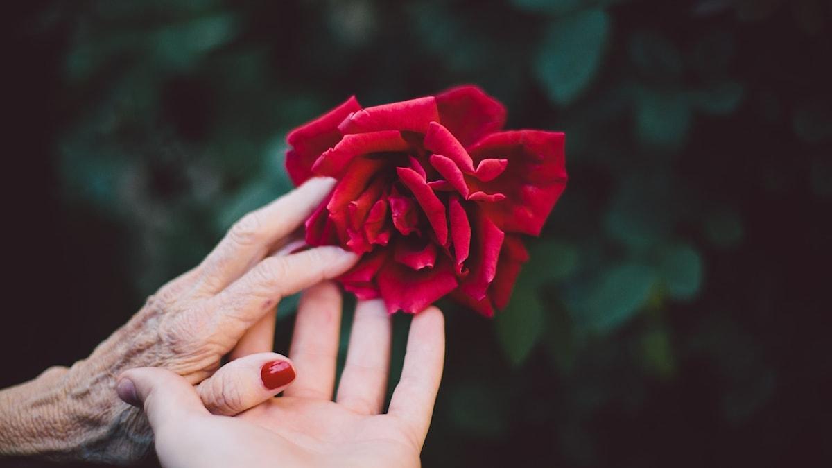 En äldre kvinna och en yngre kvinna håller en röd ros tillsammans.
