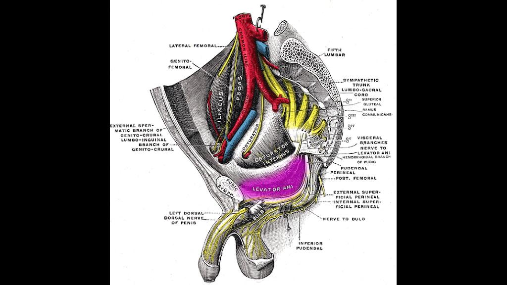 Pc-muskel premature ejaculation: