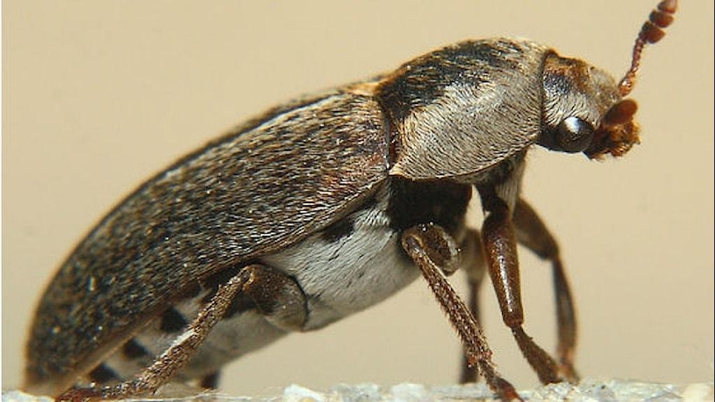 Skalbaggen Dermesestes maculate har jobbat åt museer i decennier.