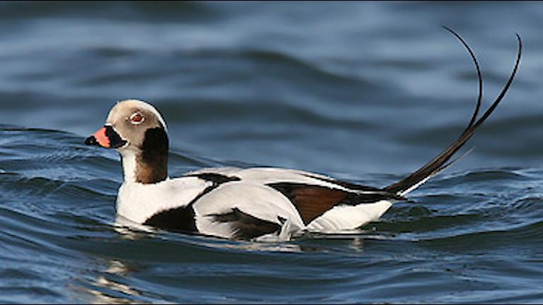 En brokig andfågel i vitt och brunsvart med extremt lång stjärt. Alfågel, Clangula hyemalis.
