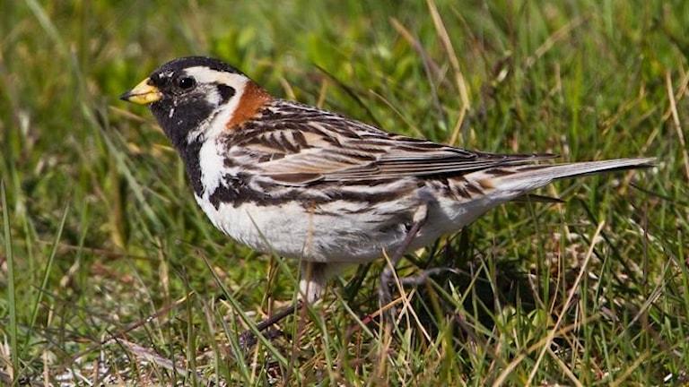 En sparv-aktig fågel sitter i gräs. Magen är vit, nacken roströd, ryggen spräcklig och huvudet tecknat i svart och vitt.
