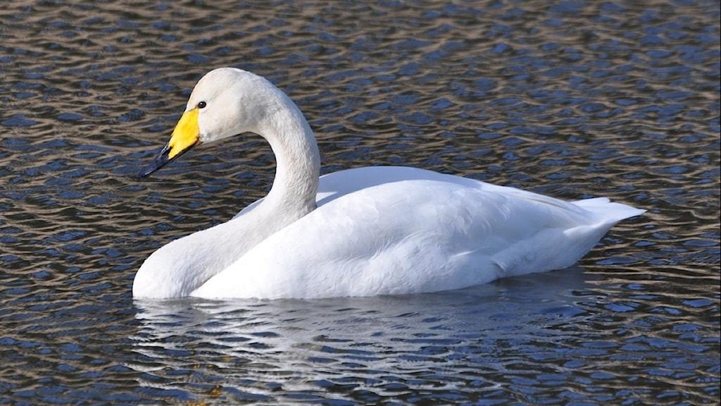 En stor vit svan simmar på vattnet. Näbben är gul och svart. Sångsvan, Cygnus cygnus.
