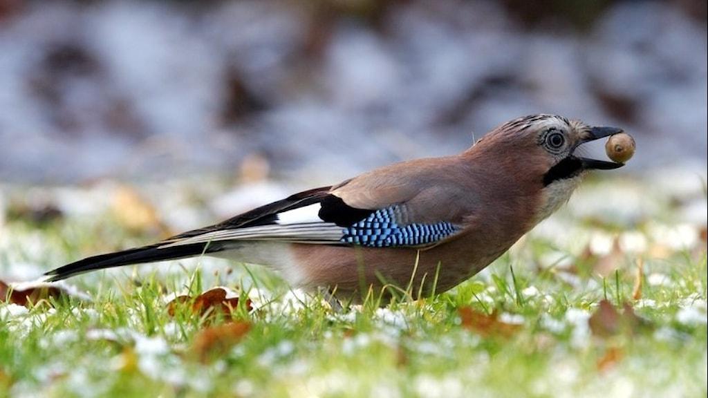 En färggrann kråkfågel sitter i gräset och håller ett ekollon i sin näbb.