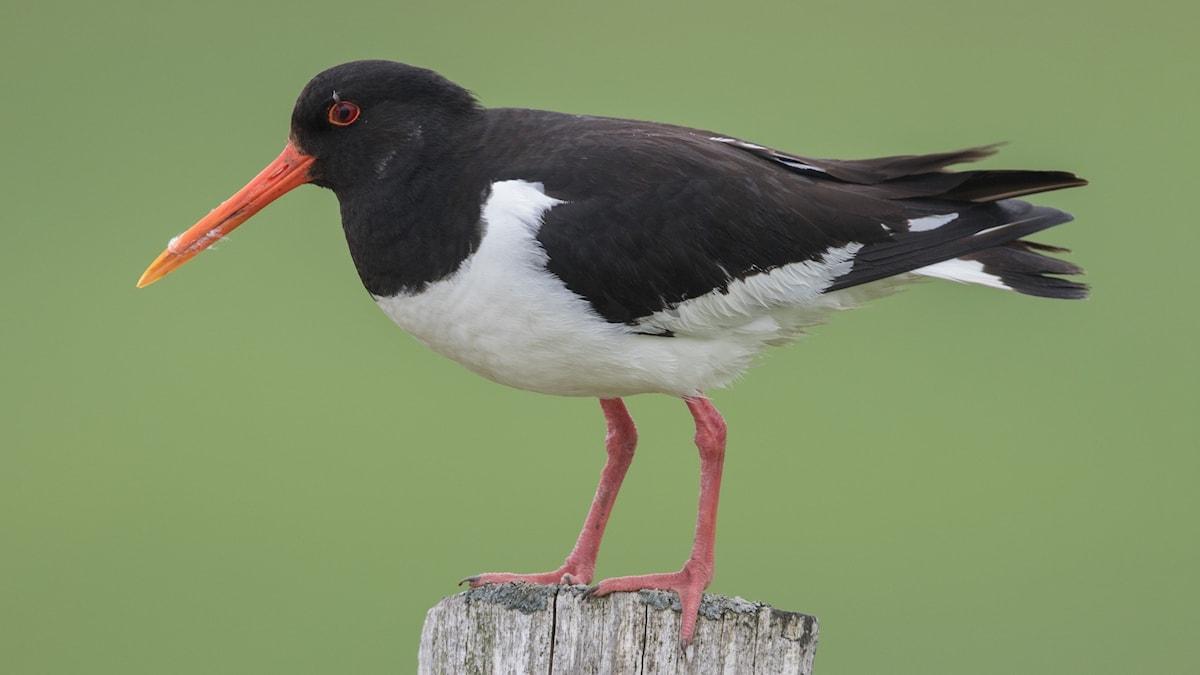 En vadarfågel står på en stolpe. Kroppen är svartvit och ben och näbb klarröda. Strandskata, Haematopus ostralegus