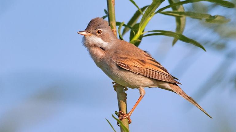En övervägande brun småfågel som sitter på en kvist. Törnsångare, Sylvia communis.