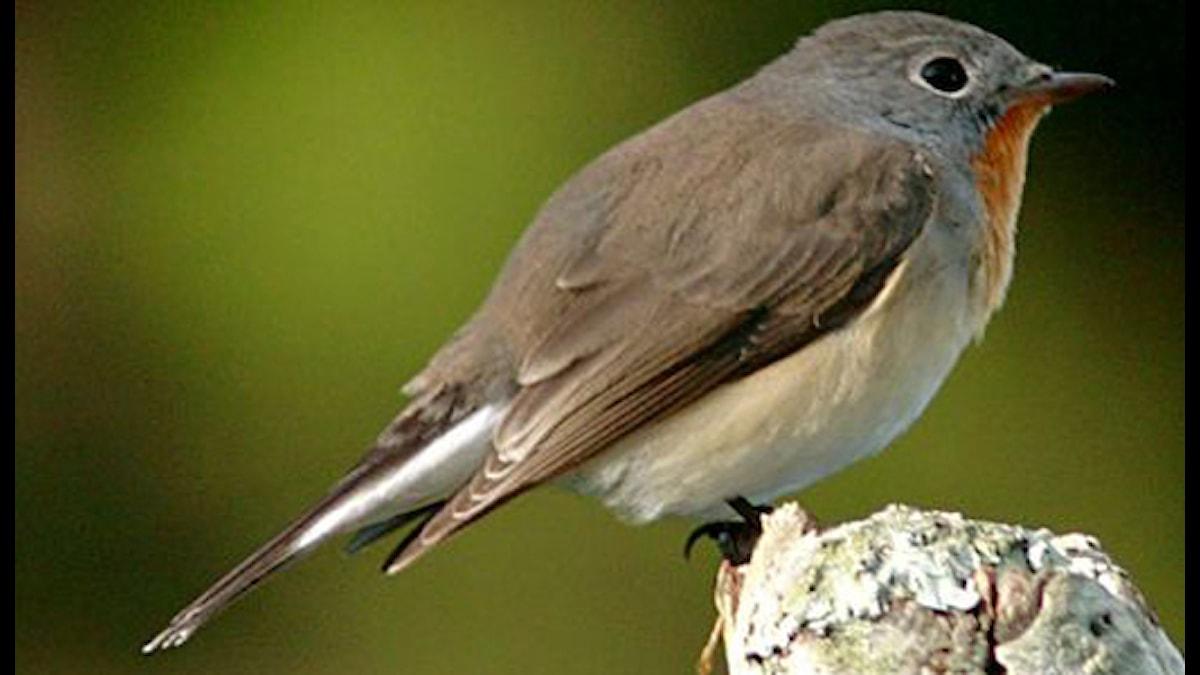 Mindre flugsnappare sitter på en liten gren