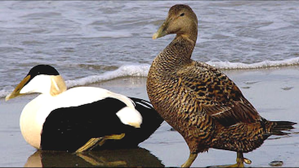 Två andfåglar i ett par, en vit och mörkbrokig, en brunspräcklig. Ejder (Somateria mollissima)