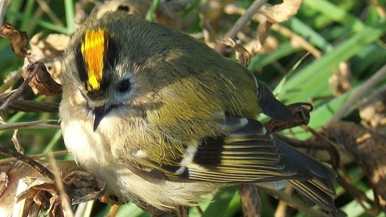 En liten nätt fågel, mestadels grön men med orange hjässband