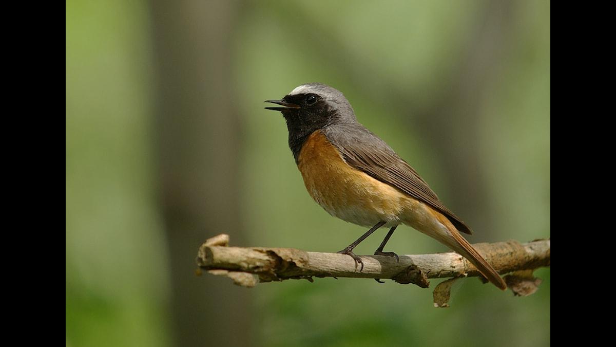 En småfågel med vackert rostrött bröst och svart ansikte. Även stjärten går i röda toner.