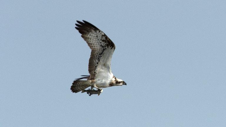 En stor ljus rovfågel med lite mörk teckning på undersidan av vingarna kommer flygande med en fisk i klorna