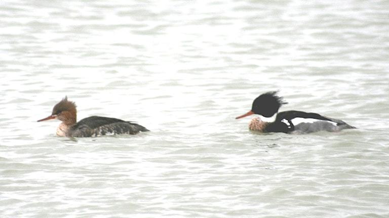 Två fåglar, hona och hane, av en simfågel ligger och simmar på vattenytan. Den främsta är brunspräcklig, den som kommer efter är mer kontrastrikt tecknad.