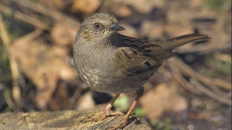 En brunspräcklig och gråblå liten fågel med tunn näbb som sitter på marken