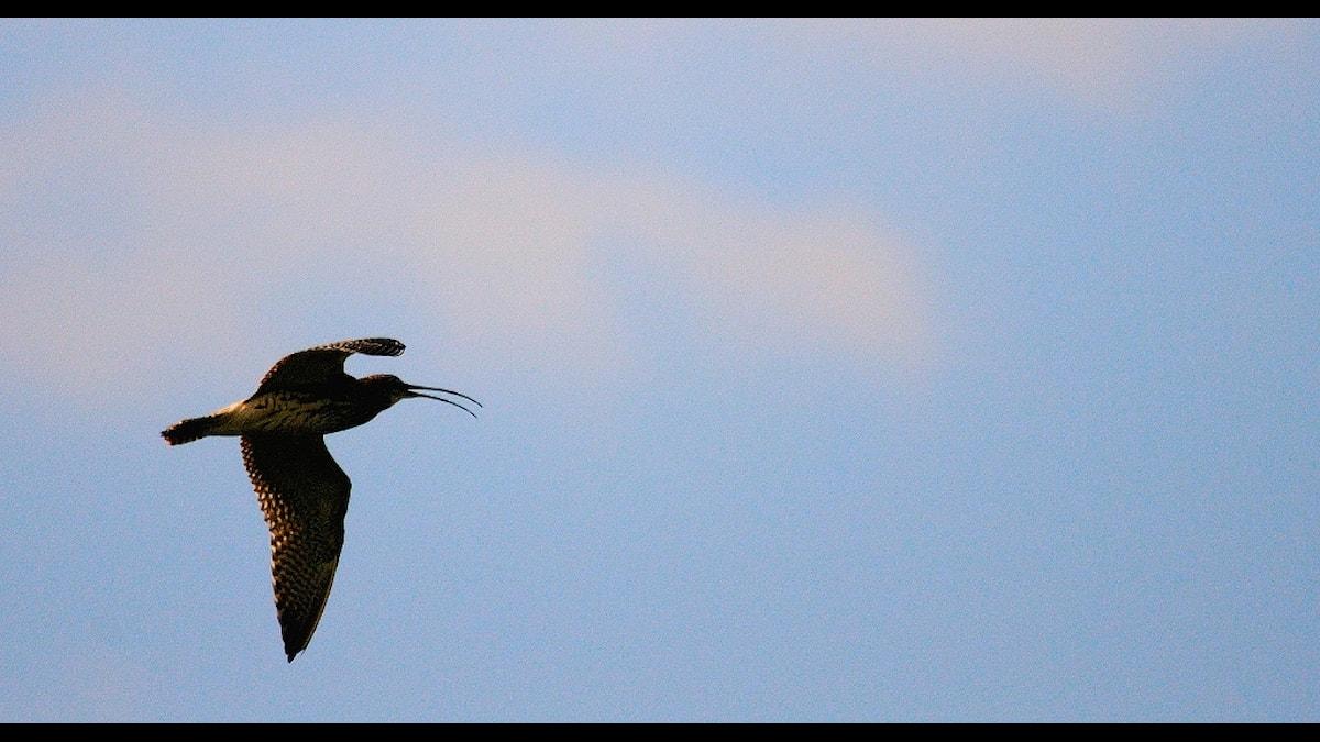 Flygande storspov. Foto: Sven-Erik Borg