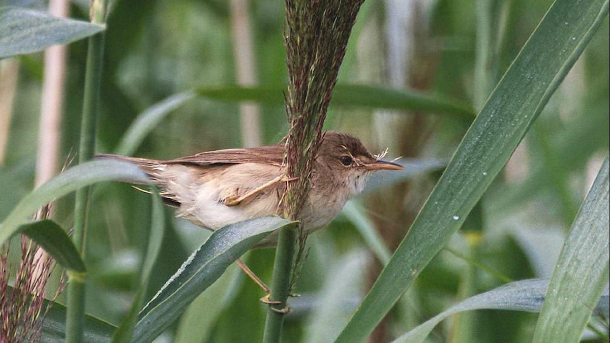 En liten brun fågel sitter fastklamrad på ett vass-strå. Rörsångare (Acrocephalus scirpaceus)