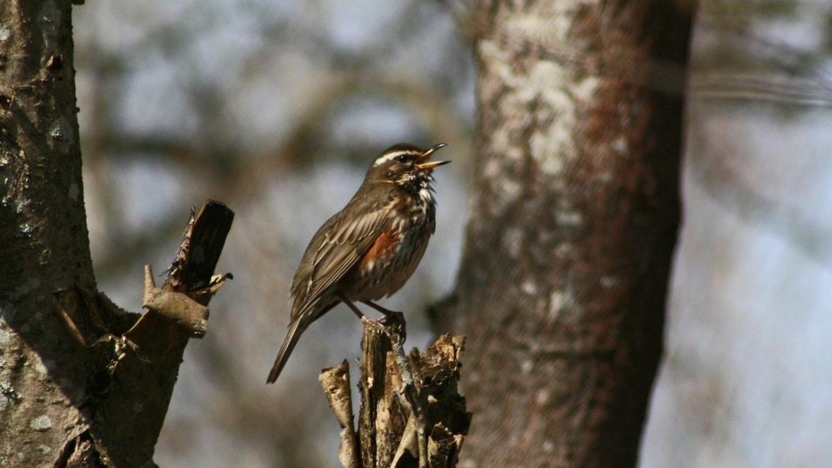 En sjungande fågel
