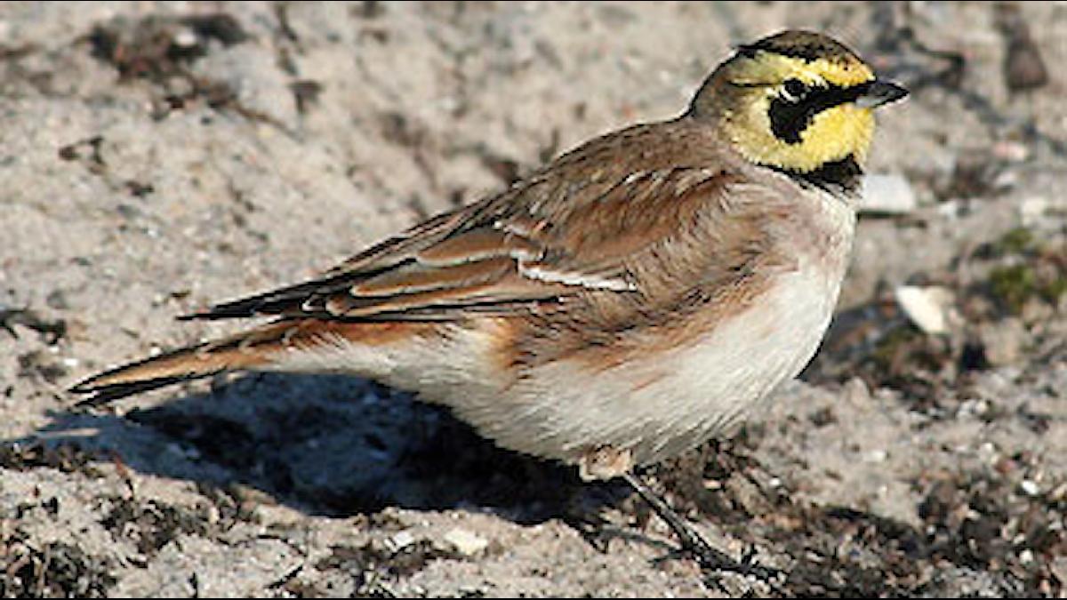 En gråbrun fågel med distinkt gulsvart teckning på huvudet sitter på sandig mark. Berglärka (Eremophila alpestris)