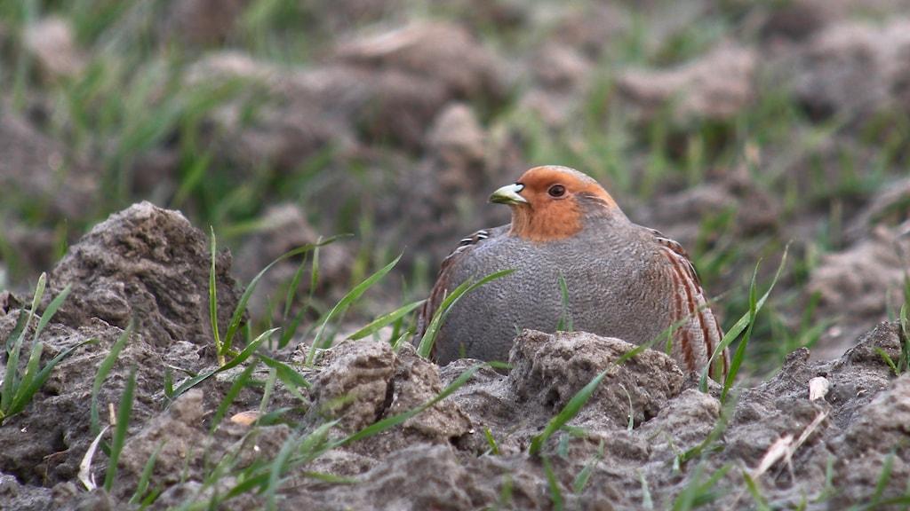 En hönsfågel med grå kropp och terracottafärgat ansikte ligger och kurar på marken. Rapphöna, Perdix perdix.