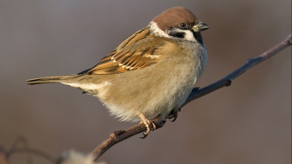 En småfågel med uppburrad fjäderdräkt i brunt (och lite svart) sitter på en gren.