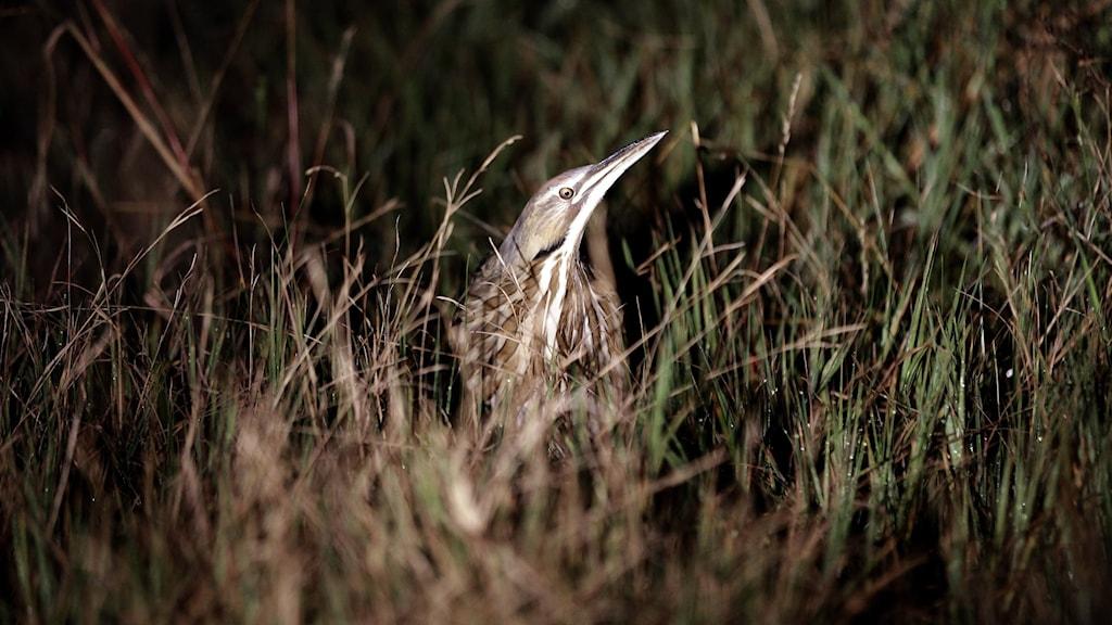 En brunspräcklig hägerliknande fågel sträcker upp hals, huvud och den långa spetsiga näbben ur markvegetationen. Rördrom, Botaurus stellaris.