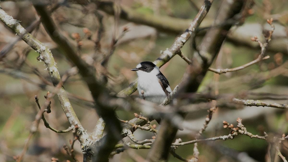 En svartvit fågel sitter i grenverket på ett träd