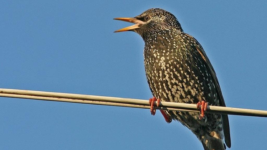 En blanksvart fågel med små ljusa fläckar sitter på en luftledning och sjunger. Stare, Sturnus vulgaris.