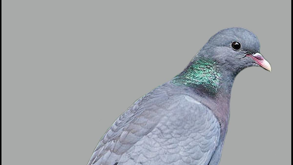 Närbild på en blågrå duva med skimrande grönmetallisk fläck på sidan av halsen
