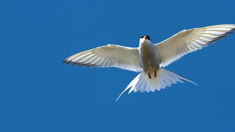 En vit fågel svävar över betraktaren mot bakgrund av en knallblå himmel. Silvertärna, Sterna paradisaea