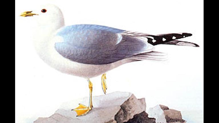 Fiskmås (Larus canus)
