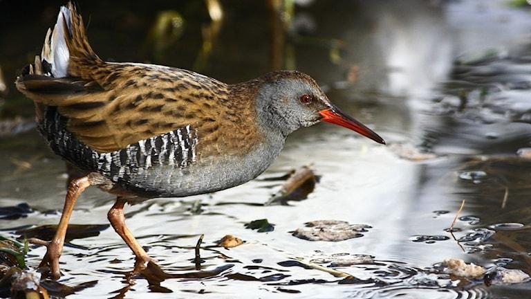 En liten hönsliknande fågel med lång röd näbb och brungrå kropp går på grunt vatten bland växtlighet. Vattenrall, Rallus aquaticus.